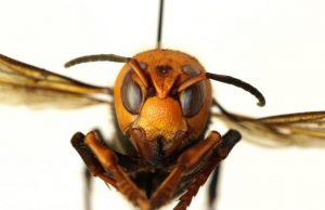 Vespa Mandarinia insecto amenaza