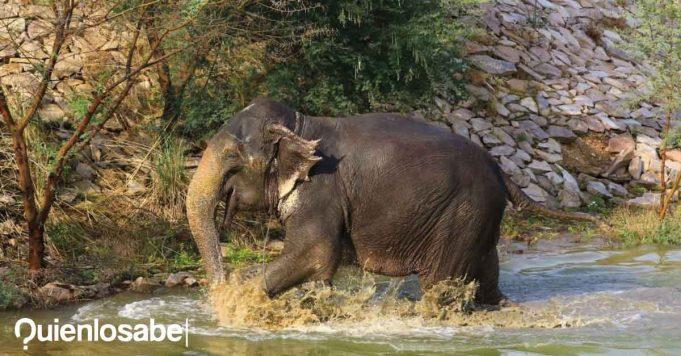 Elefante embarazada