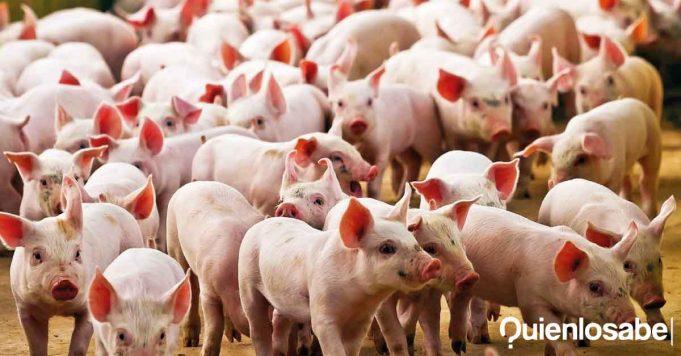 nuevo virus china cerdos
